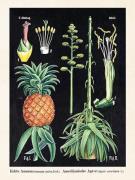 Plakat Ananas 18x24 cm