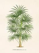 Plakat Palm coccothrinax 18x24 cm